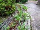 Pruning & weeding (2).JPG